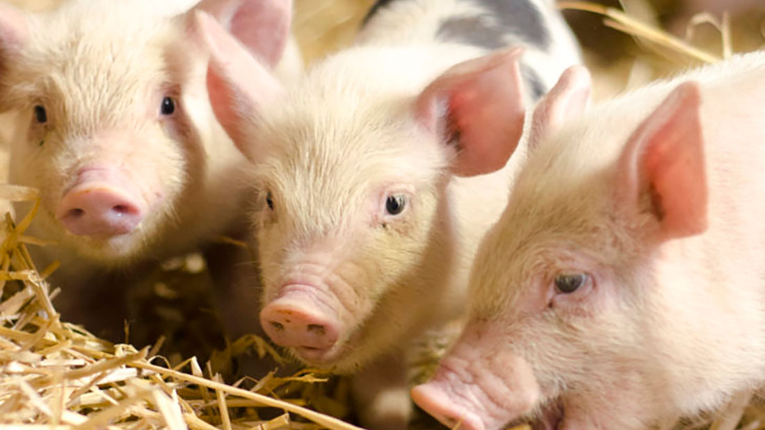 5 Things You Probably Didn't Know About Pigs