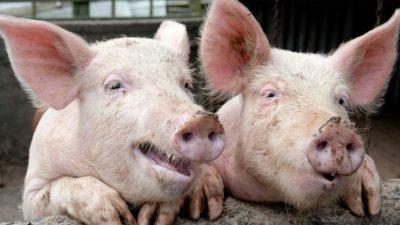 intensive pig farm