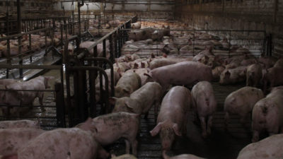 Swine Fever – should we be worried?