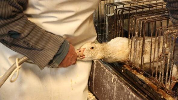 SUCCESS! Bath City Council Keeps True To Its Foie-Gras Ban!