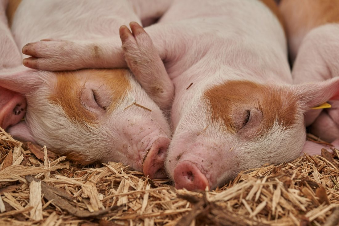 What the Labour Party Animal Welfare Manifesto Means for Animal Rights