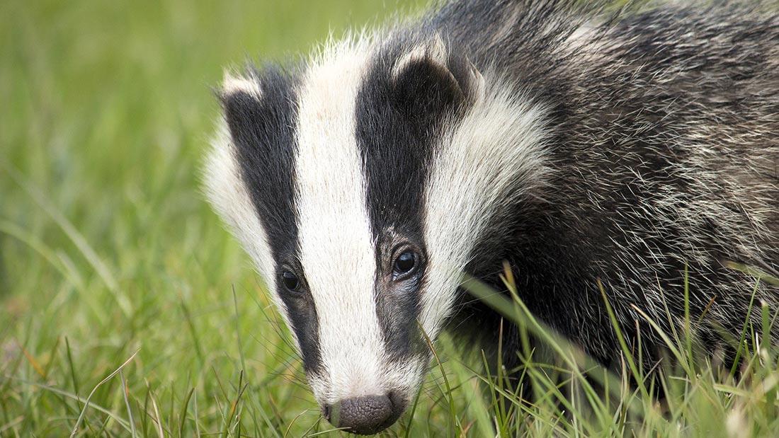 Badger on grass