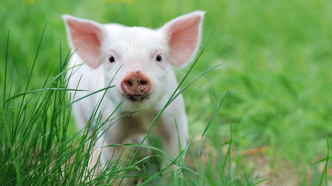 Donate page pig background image