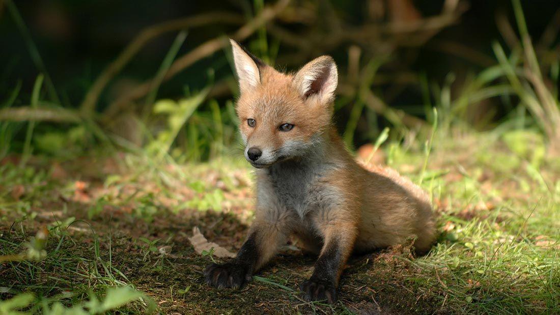 Fox in a Meadow