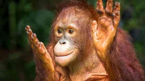 Orangutan in a rain forest