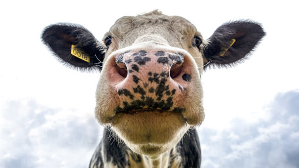 Dairy cow picture
