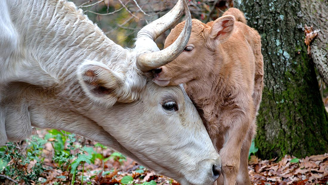 Dairy cow with baby picture