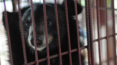 China promotes bear bile as a treatment for COVID-19