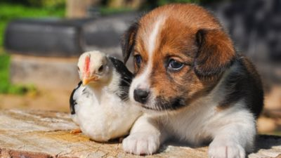 Chicken and puppy sitting next to each other