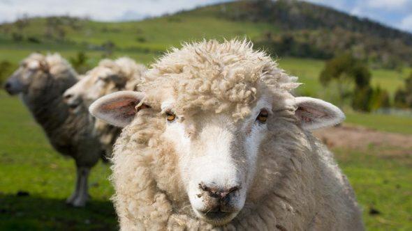Sheep fun facts