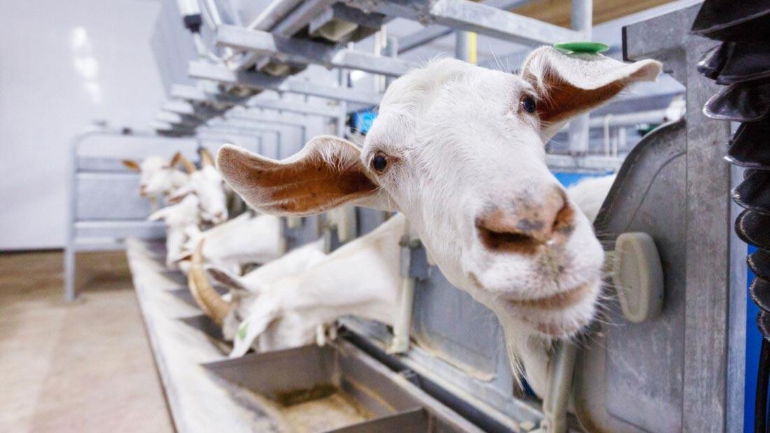 Goats inquisitive animals