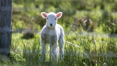 lamb in a field