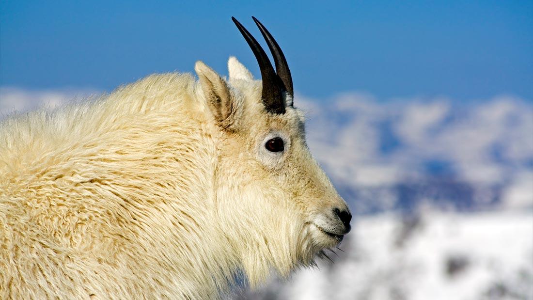 Polar goat