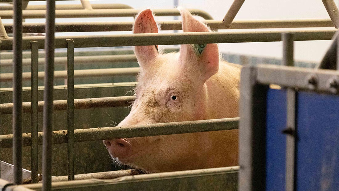 Calvesley farm pigs