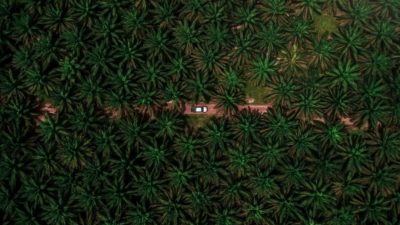 Palm oil trees