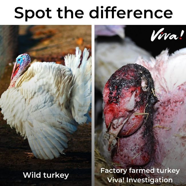 Healthy wild turkey on the left and injured, sick turkey on the right