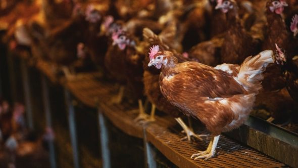 barn chickens