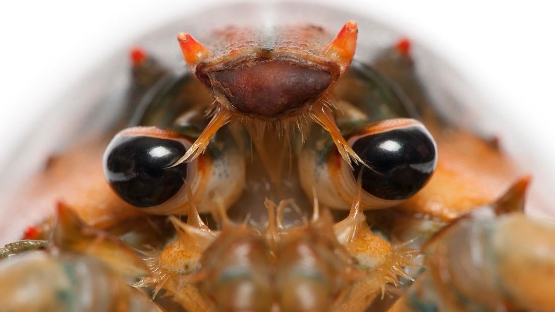 lobster closeup