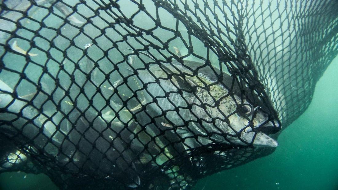 Yellowfin tuna in a net