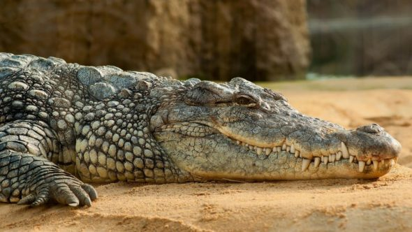 Crocodile resting