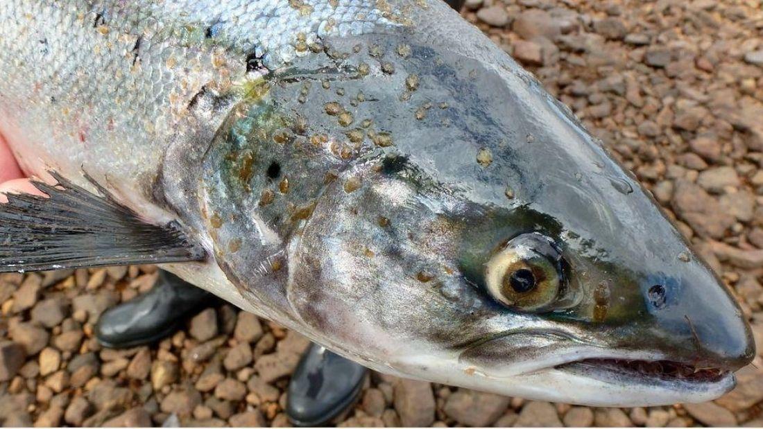 Lice on Atlantic salmon