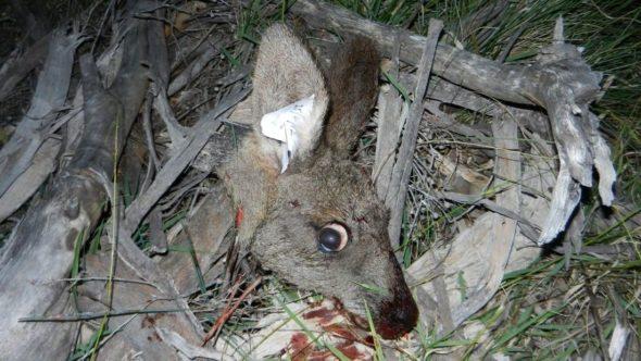 Decapitated kangaroo