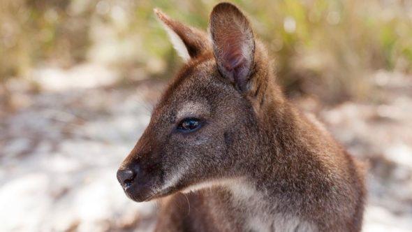 Tasmanian wallaby