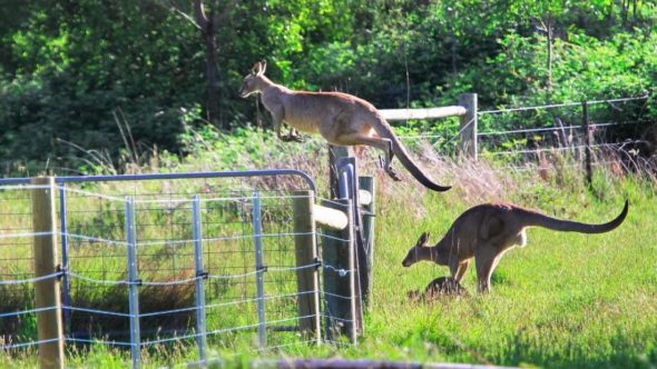 Kangaroo jumping fence