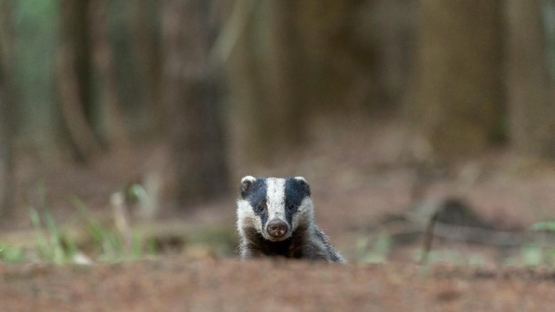 badger peering over mound in forest