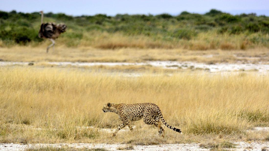 cheetah hunting an ostrich