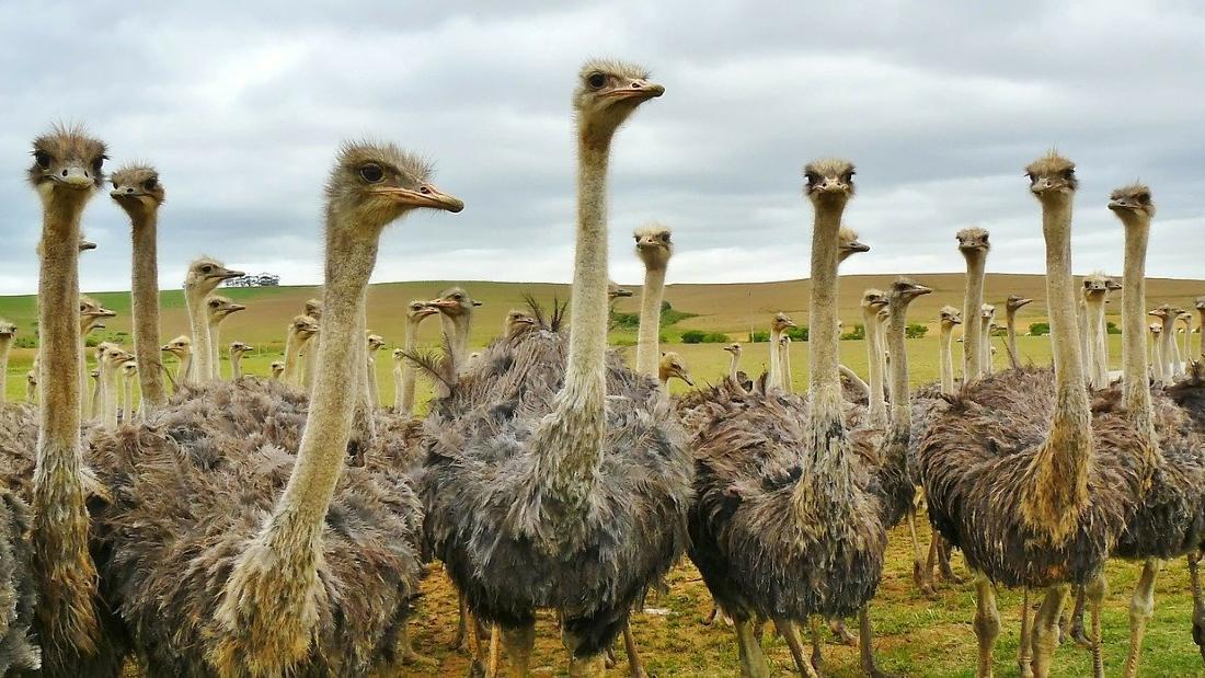 flock ostriches