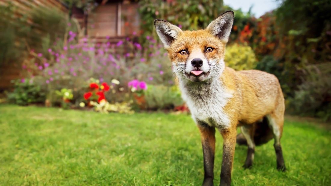 fox in a garden with its tongue poking out