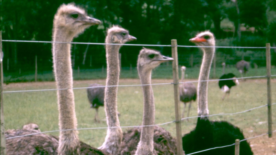 ostriches behind fence