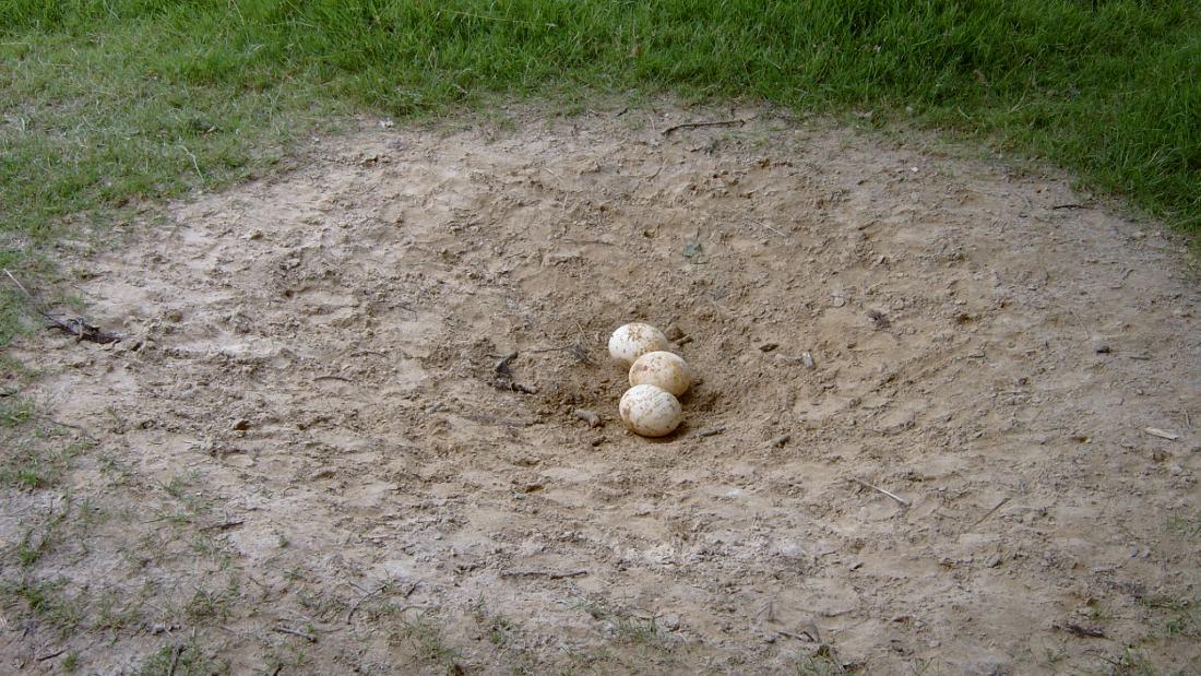 ostrich eggs on ground