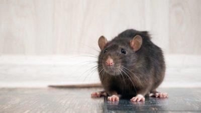 brown rat on floor