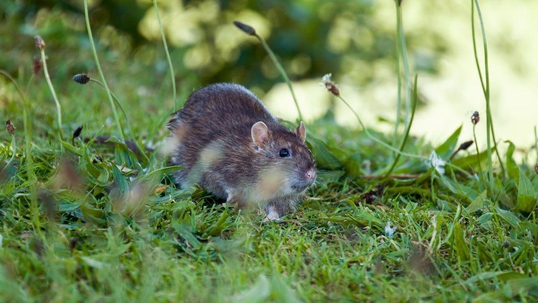 rodent on grass