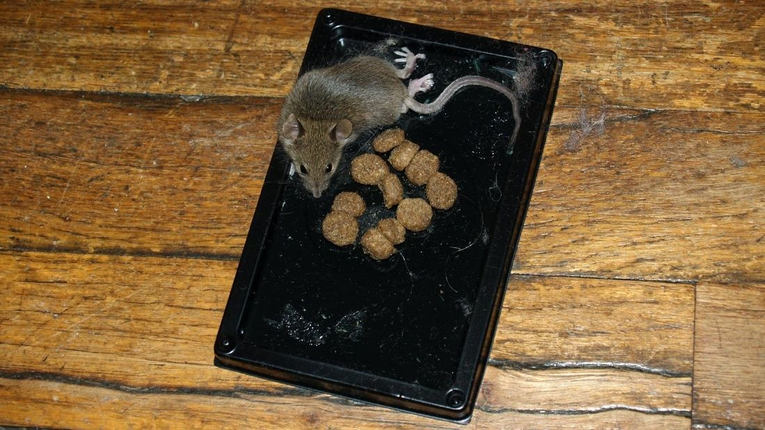 rat on a rodent trap