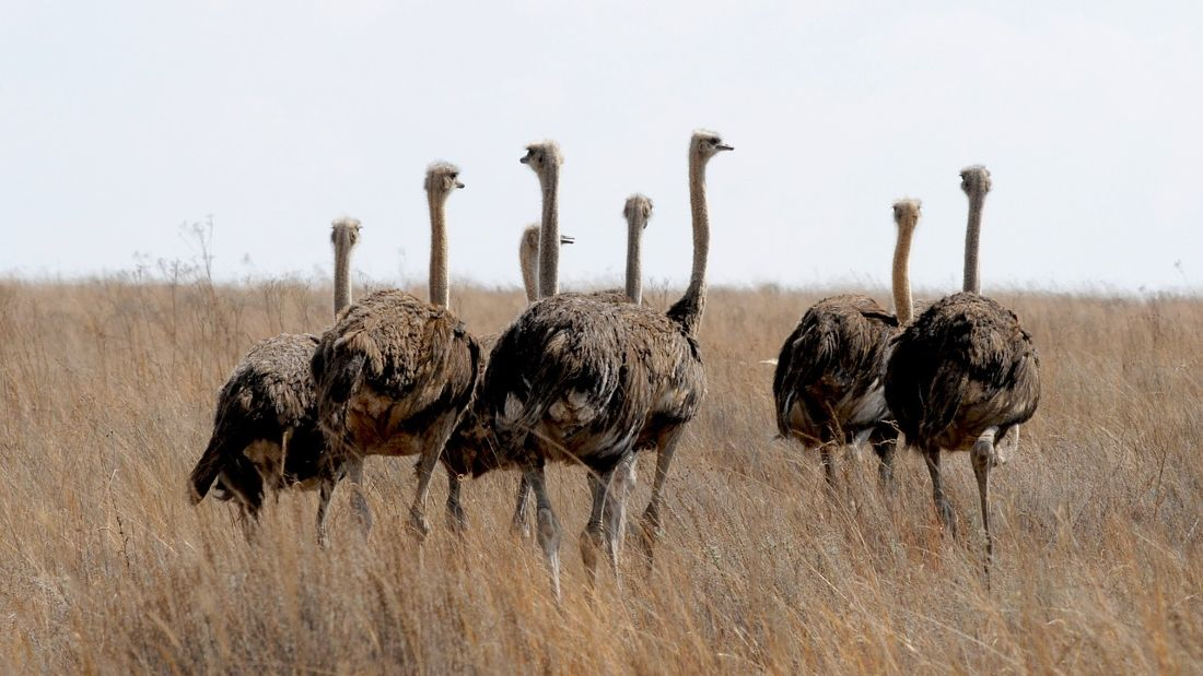 flock of ostriches in south africa