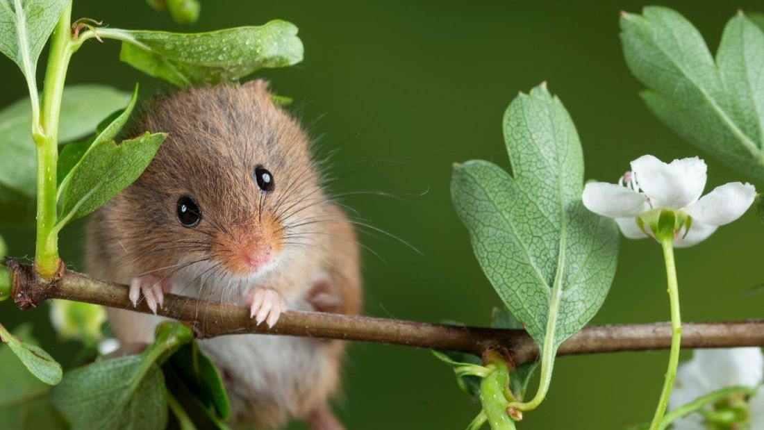 wild rodent peering over twig