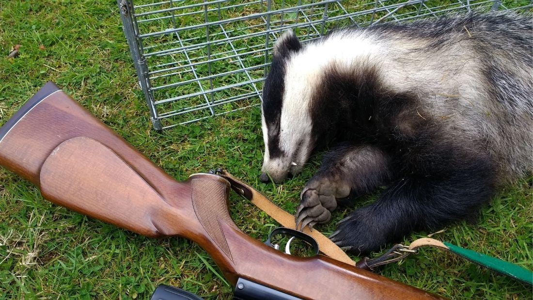Shot badger