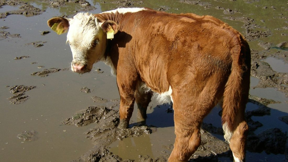 Cow in slurry
