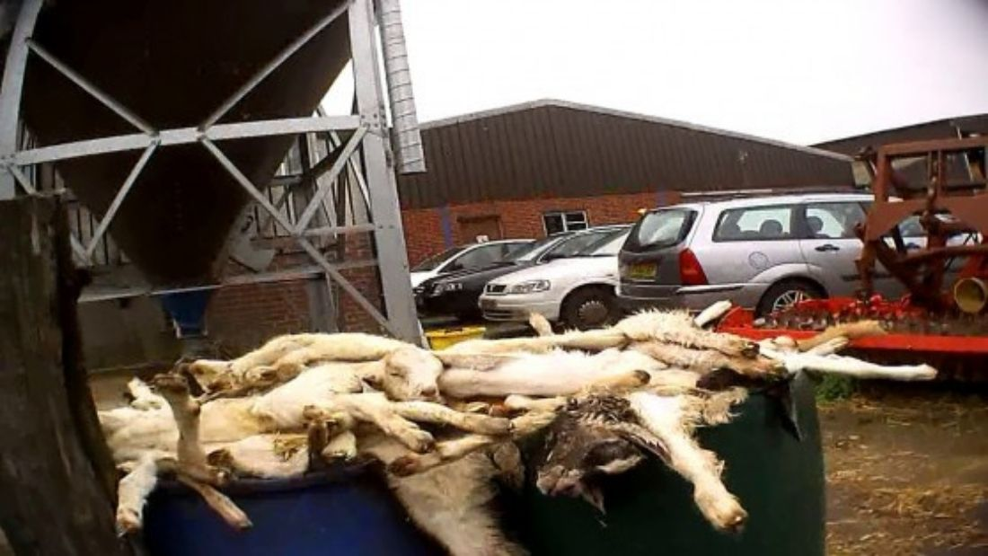 Dead goats