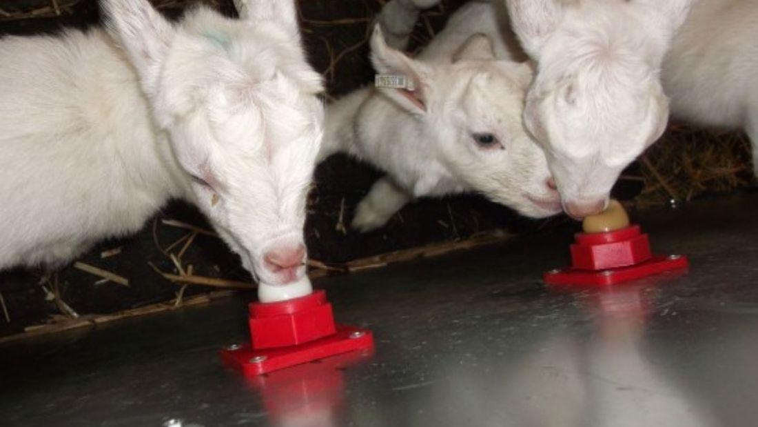 Goat kids suckling