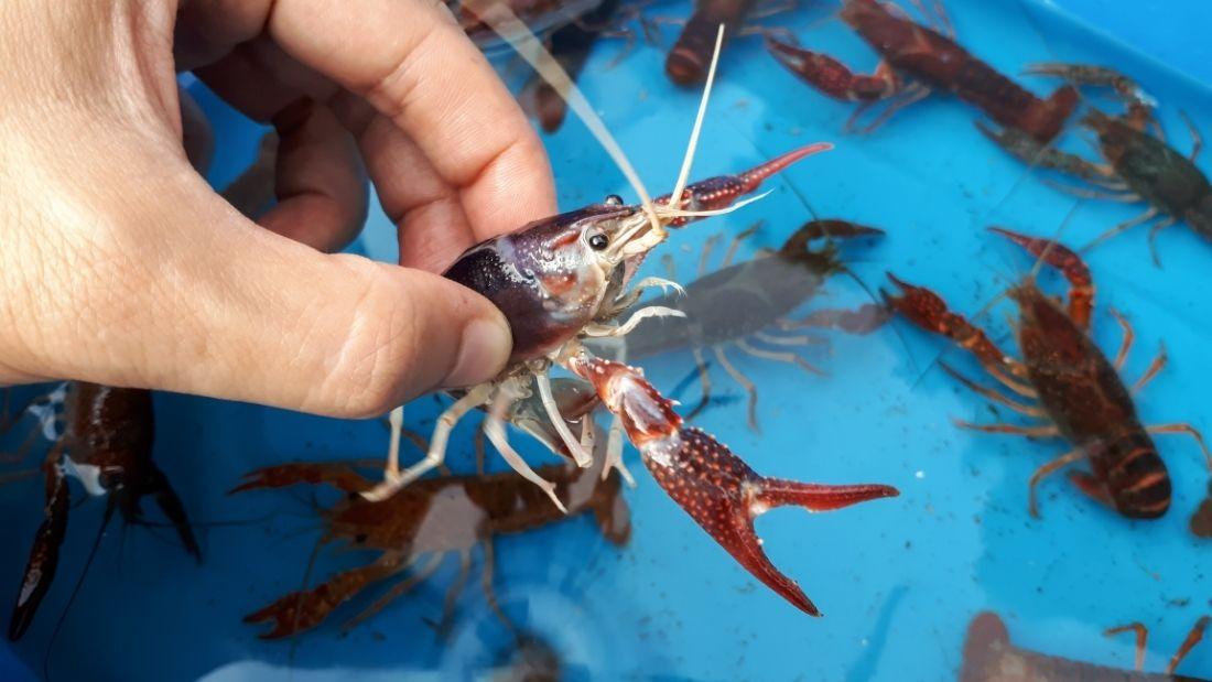 Farmed lobsters