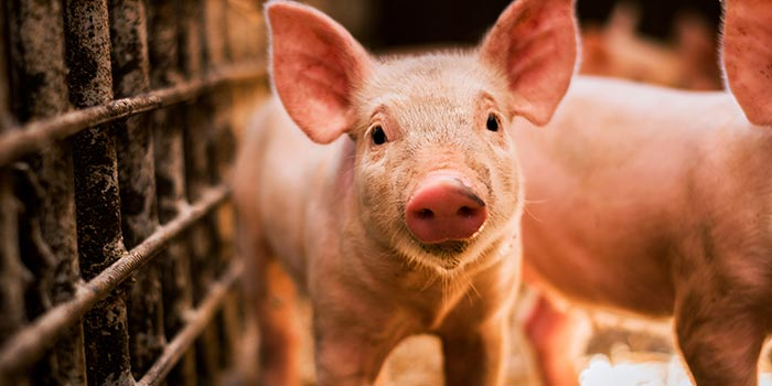 Donate pig