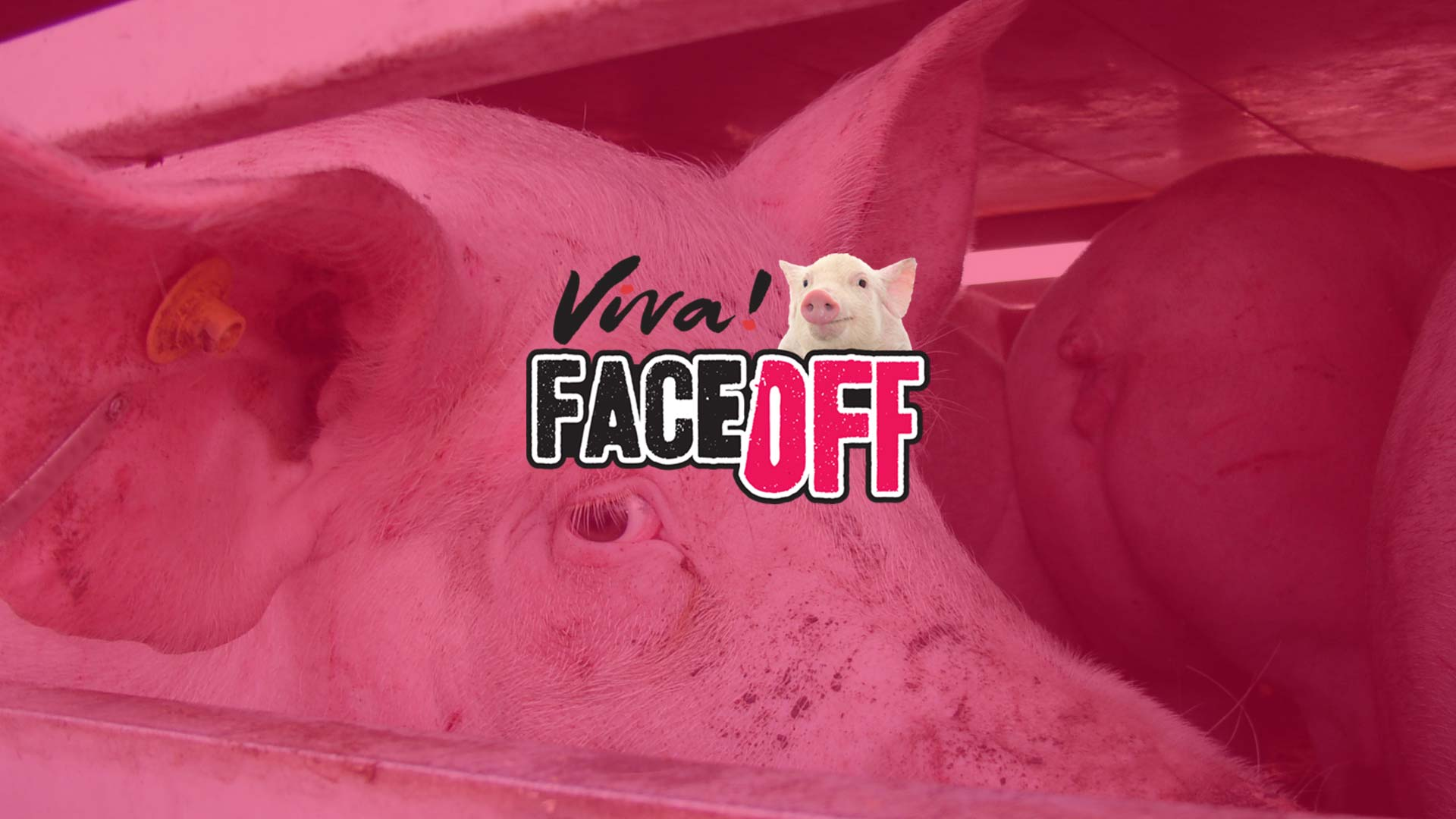 Face off pigs banner