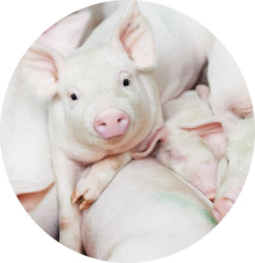 Pig report