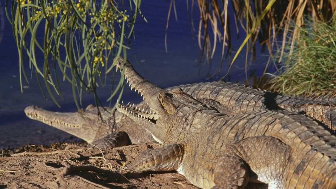 Two crocodiles in the wild
