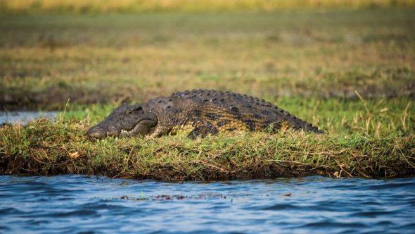 Crocodile on land