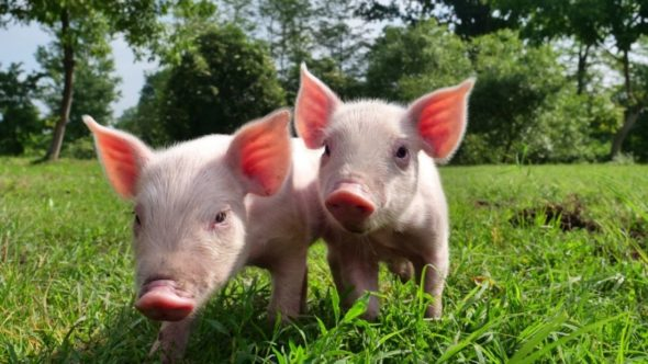Two cute piglets on the grass